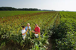 Entomologist (center), technician (right), and student technician evaluate a sorghum trap crop being used to control stink bugs in adjacent fields of peanuts and cotton: Click here for full photo caption.
