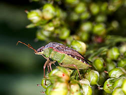 The brown stink bug, Euschistus servus, is about 11 mm long: Click here for photo caption.