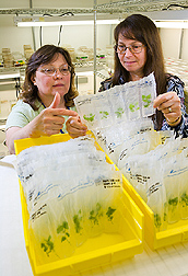 Technician (left) and plant physiologist inspect plants stored with standard MS iron, which allows for longer storage than media with sequestrene iron: Click here for full photo caption.