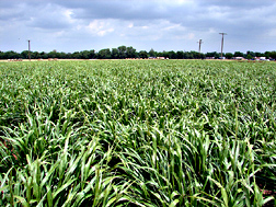 Verl eastern gamagrass: Click here for photo caption.