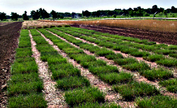 Photo: Texas and hybrid bluegrasses being grown in small test plots. Link to photo information
