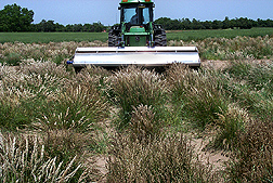 Texas bluegrass seed being harvested at Woodward, Oklahoma, for further evaluation and establishment studies: Click here for photo caption.