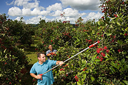 Technicians harvest rambutan fruit from an experimental orchard: Click here for full photo caption.