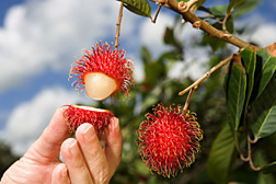 Rambutan fruit with edible pulp exposed: Click here for photo caption.