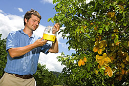 In a study of the fruit's potential as a host to fruit flies, entomologist inspects a fruit-fly trap on a carambola tree: Click here for photo caption.