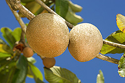 Mamey sapotes. Link to photo information