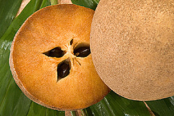 Sapodilla: Click here for photo caption.
