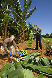 Horticulturist (foreground) and technician harvest and weigh banana bunches from the germplasm collection: Click here for full photo caption.