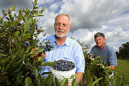 Research leader and horticulturist collects fruit from DeSoto, a new rabbiteye blueberry released by ARS breeders, while geneticist selects propagation material from the plant: Click here for full photo caption.