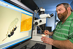 Blair Sampson watches video on computer screen showing wasp inserting eggs into a gall midge larvae. Link to photo information