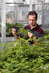 Research assistant examines raspberry plants for aphids: Click here for full photo caption.