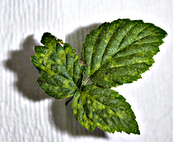 Black raspberry leaf with symptoms of black raspberry necrosis virus: Click here for photo caption.