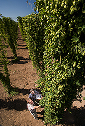 At the hop breeding facility in Corvallis, Oregon, ARS geneticist (foreground) and Oregon State University research associate evaluate hop plants for lupulin glands, which produce beta acids that influence the aroma of hops: Click here for full photo caption.