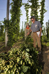 Oregon State University (OSU) student and OSU research associate select one of the experimental lines of hops for yield and cone shape: Click here for full photo caption.