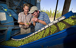 ARS geneticist (left) and Anheuser Busch agronomist examine and smell hop cones for quality and aroma characteristics: Click here for full photo caption.