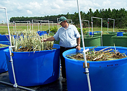 Soil scientist adjusts iris plants recently transplanted onto floating mats in aquaculture tanks: Click here for full photo caption.