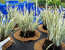 Photo: Iris plants growing on floating mats in fishery waste water. Link to photo information