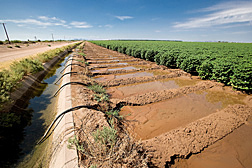 From canals that run along the fields, farmers use siphon hoses to deliver water to thirsty crops: Click here for photo caption.