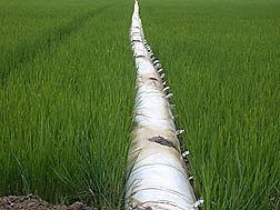 Multiple-inlet rice irrigation (MIRI) system operating in a rice field: Click here for full photo caption.