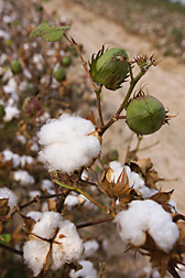 Germplasm line derived from a wild African cotton species and located in College Station, Texas: Click here for photo caption.