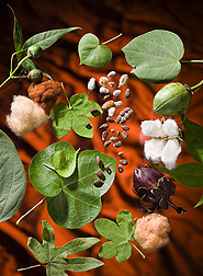 Photo: A range of colors, shapes and sizes of cotton leaves, bolls and seeds demonstrating some of the diversity in National Cotton Germplasm Collection. Link to photo information