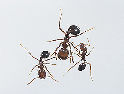 Imported fire ants: Click here for photo caption.