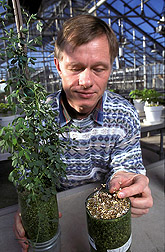 Microbiologist compares growth of alfalfa plants (left) inoculated with Rhizobium with plants that haven't been inoculated (right): Click here for full photo caption.