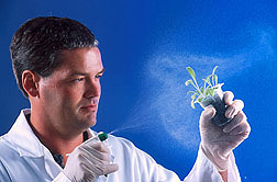 Plant pathologist sprays a fungus isolated from yellow starthistle on a seedling of the same plant species: Click here for full photo caption.