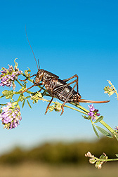 A Mormon cricket: Click here for full photo caption.