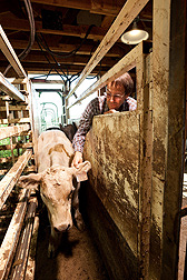 At Miles City, Montana, animal scientist identifies a calf in a study to reduce beef production cost prior to weaning: Click here for full photo caption.