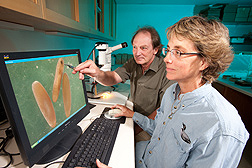 Using a dissecting microscope, a technician and ecologist screen Mormon cricket eggs for fertility: Click here for full photo caption.