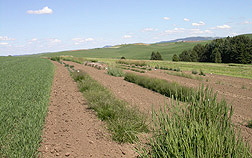 Photo: Forages and turf grasses in a field at the ARS Western Regional Plant Introduction Station in Pullman, Wash. Link to photo information