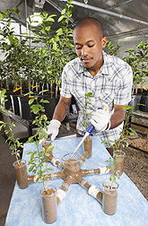 University of Florida collaborator adds insect-killing nematodes to a six-arm olfactometer to test their attraction to different citrus rootstock cultivars attacked by Diaprepes root weevil larvae: Click here for full photo caption.