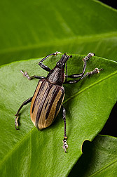 A Diaprepes weevil feeds on a citrus leaf: Click here for photo caption.