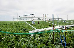 Photo: The rate of photosynthesis is being measured in a field of soybeans. Link to photo information