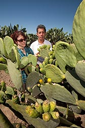 ARS plant/soil scientist Gary Banuelos and horticulturist Gabriella Romano survey fruit on prickly pear cacti, Opuntia ficus-indica: Click here for full photo caption.