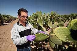 Technician Irvin Arroyo cuts a cladode from a prickly pear cactus: Click here for full photo caption.