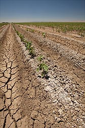 Typical salty and selenium-laden soil planted to cotton in the west side of central California: Click here for photo caption.