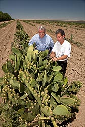 ARS plant/soil scientist Gary Banuelos (right) and grower John Diener survey prickly pear cactus growing well in poor-quality soil: Click here for photo caption.