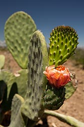Newly emerging cladode with flower on field-grown prickly pear cactus, Opuntia ficus-indica: Click here for photo caption.