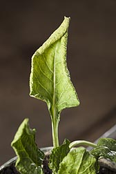 Close-up of sugar beet leaf infected with curly top: Click here for full photo caption.