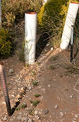 Linear stolons emerging from the transplants at the base of each PVC tube produce chains of daughter plants that appear as islands of grass surrounded by bare soil: Click here for full photo caption.