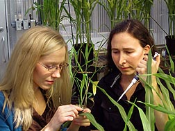 Plant molecular biologist Alisa Huffaker (left) and postdoctoral research associate Martha Vaughan treat plants with the maize peptide ZmPep1: Click here for full photo caption.