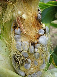 A corn earworm feeds on a corn cob infected with corn smut (blue kernels): Click here for full photo caption.