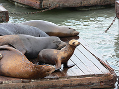 Photo: California sea lions.