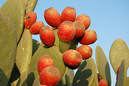Prickly pear cactus fruit: Click here for photo caption.