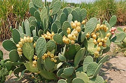 Photo: Prickly pear cactus (Opuntia ficus-indica) being grown a field. Link to photo information