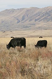 Angus cows grazing on grass and forage kochia in Utah: Click here for full photo caption.