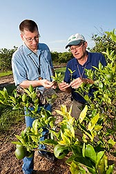 In an orange grove heavily infected with citrus greening disease, entomologists Matt Hentz (left) and David Hall inspect trees for Asian citrus psyllids that have been killed by the beneficial fungus Hirsutella citriformis: Click here for photo caption.