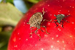 Adult and late-instar nymph stink bugs, Halyomorpha halys, feed on a Honey Crisp apple, a popular cultivar among consumers: Click here for photo caption.